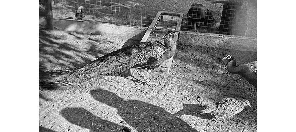 viajes prestados 17 pavos valencia berlin fotomontaje jose camara